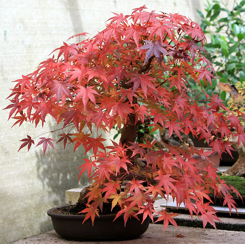 japanese-maple-bonsai-01
