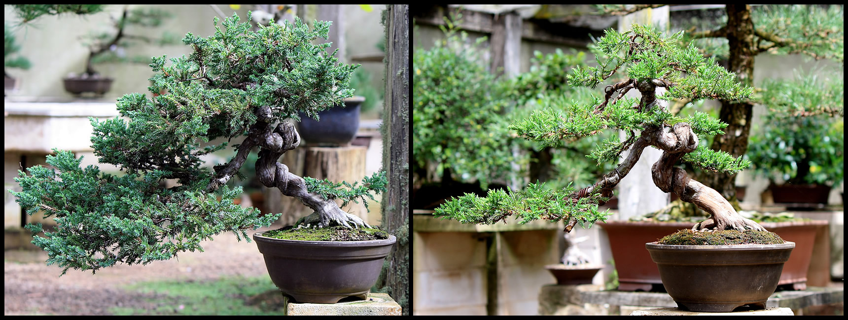 Juniperus procumbins bonsai Restored