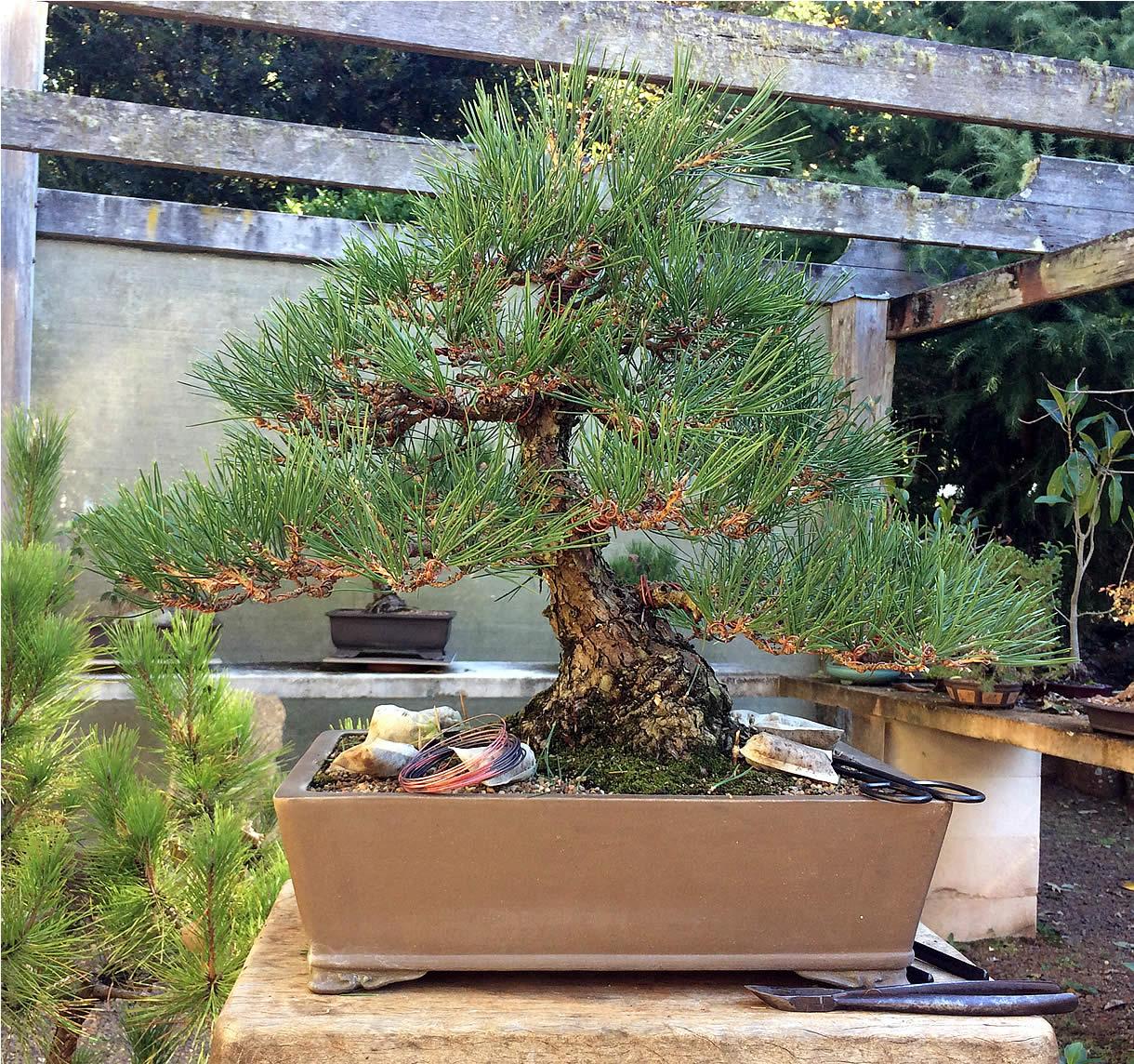 kuro-matsu-australian-bonsai-gallery-12-1220