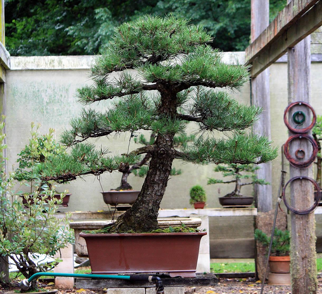 kuro-matsu-australian-bonsai-gallery-12
