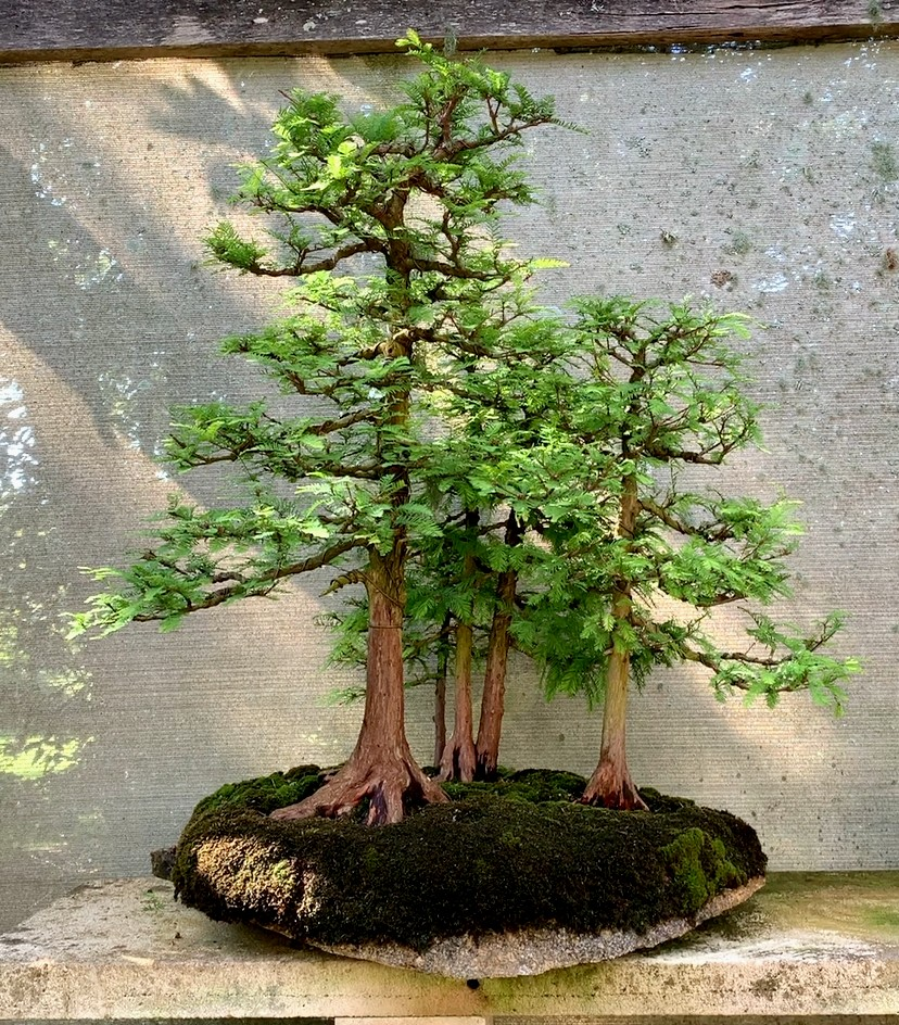 Swamp Cypress Group