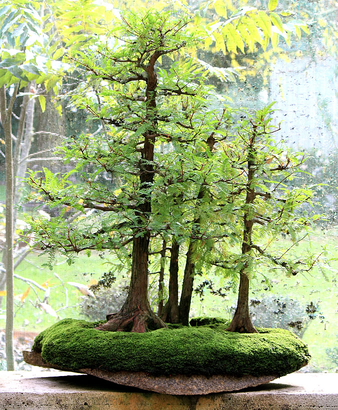 taxodium-distichum-bonsai-01