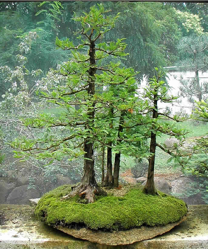 taxodium-group-sakura-bonsai-gallery