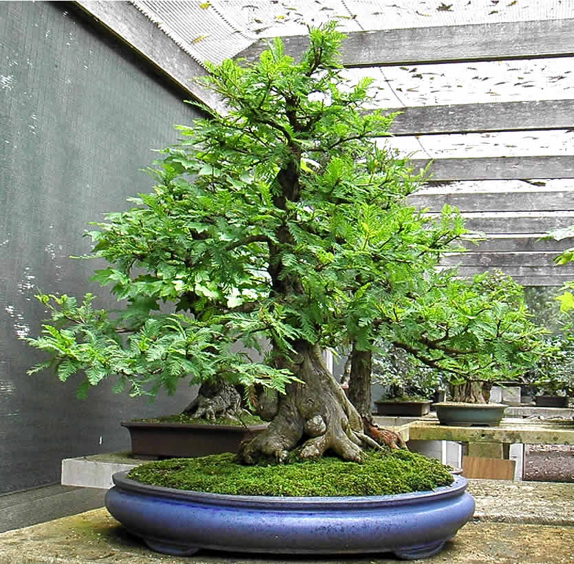 taxodium-sakura-bonsai-gallery
