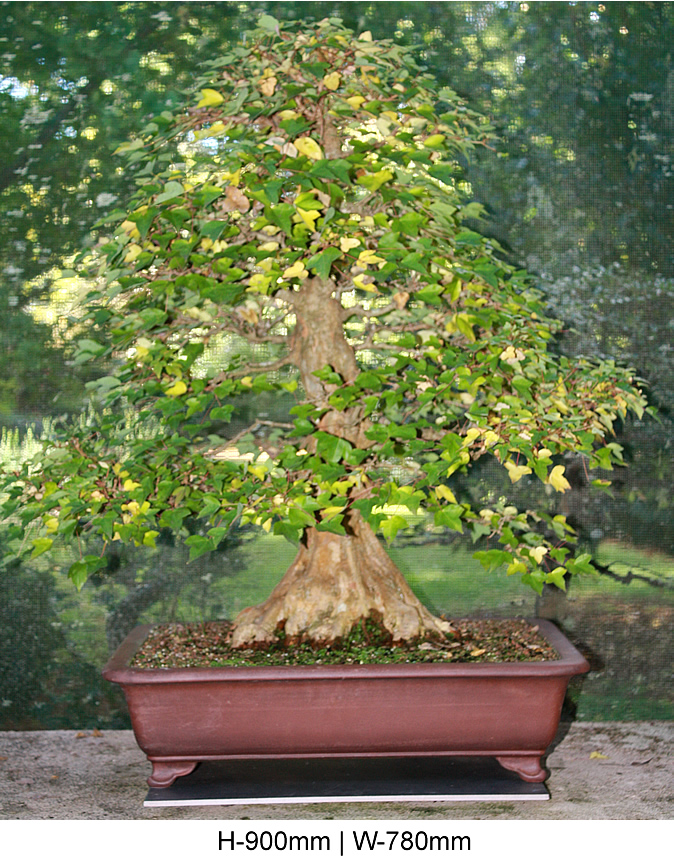 trident-maple-front