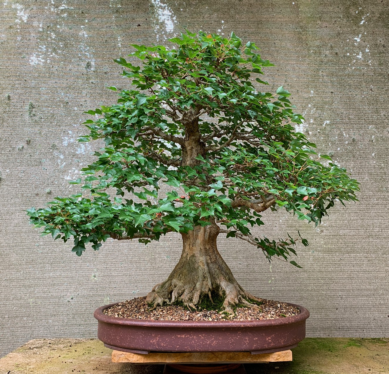 Old Trident Maple - developed from a cutting.