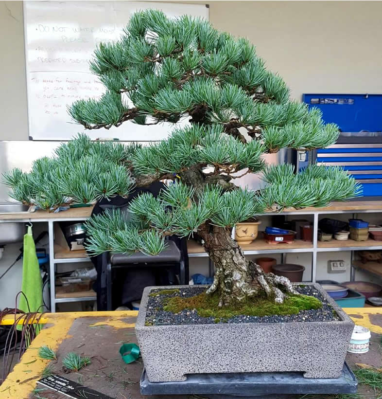 white-pine-On loan to the National Bonsai Collection