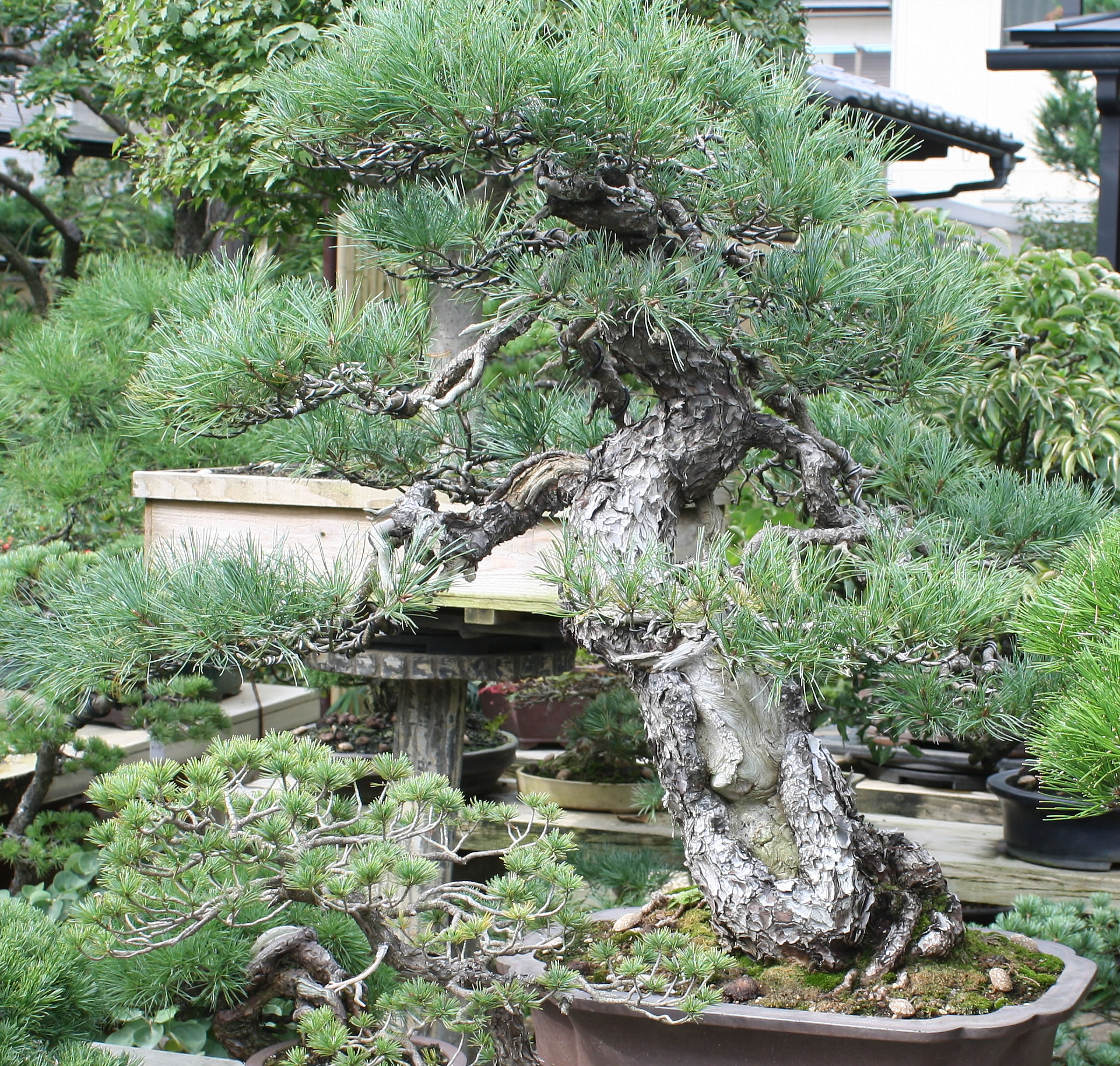 Tomio Yamada - zoom in on the old bark on this GoyoMatsu