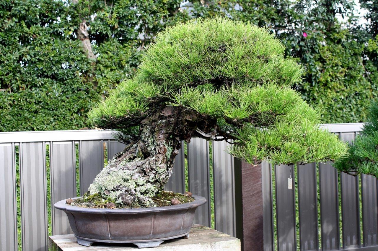 Masahiko Kimura - a bonsai of national significance