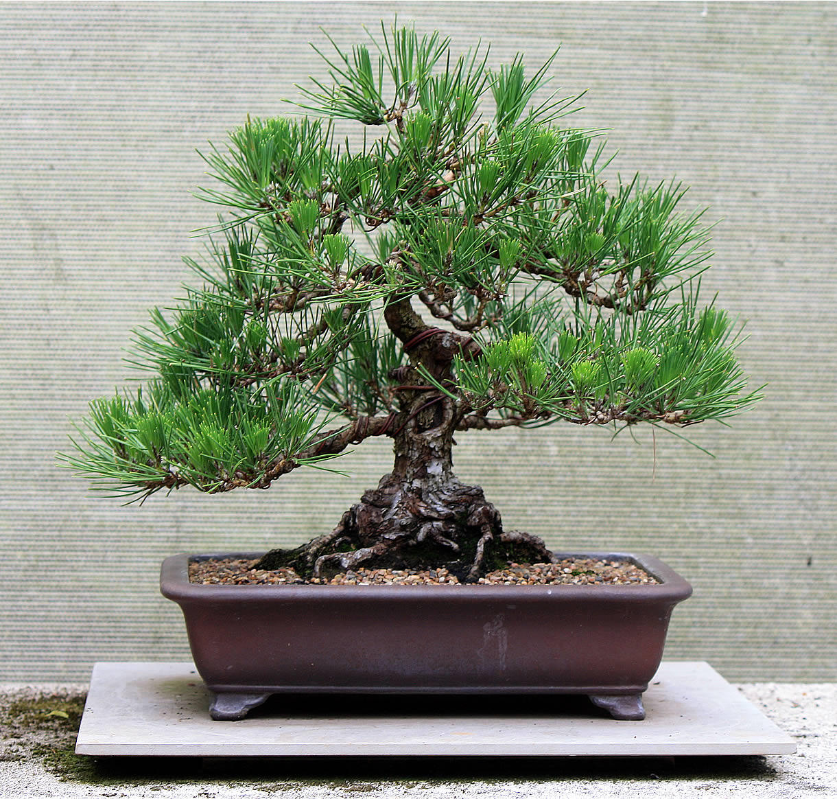 What S Been Sold Japanese Black Pine 05