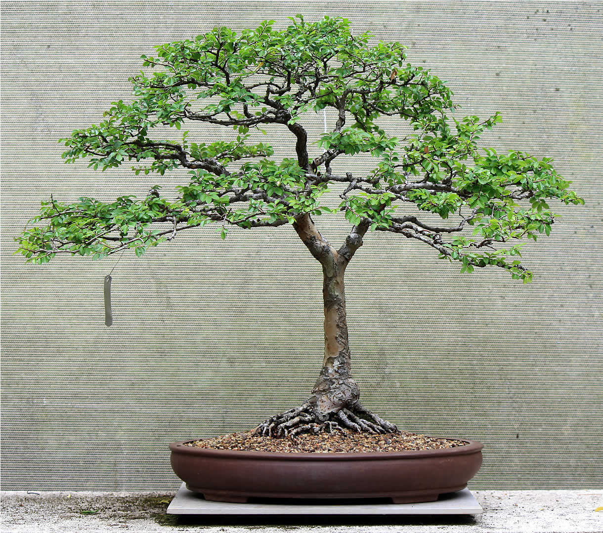 Gallery Bonsai For Sale Chinese Elm 07 Tree Wiring