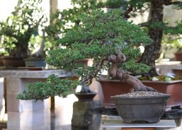 australian-bonsai-gallery-juniper