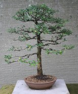 Bonsai For Sale