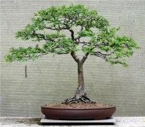 chinese-elm-bonsai-07