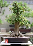 sakura-bonsai-gallery-trident-maple-024