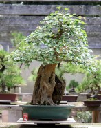 Old 'Root-over-rock' Trident Maple