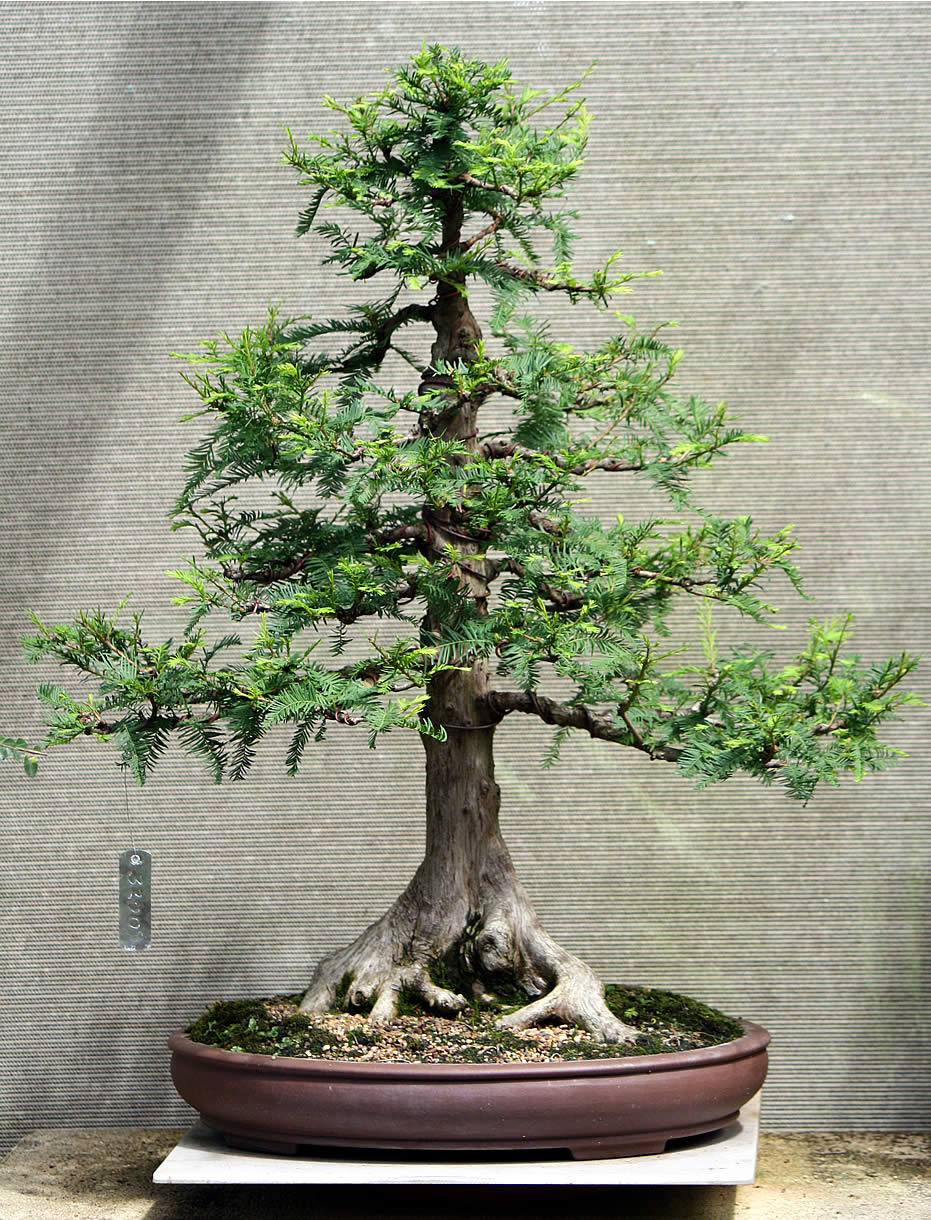 Gallery Bonsai For Sale Swamp Cypress 02